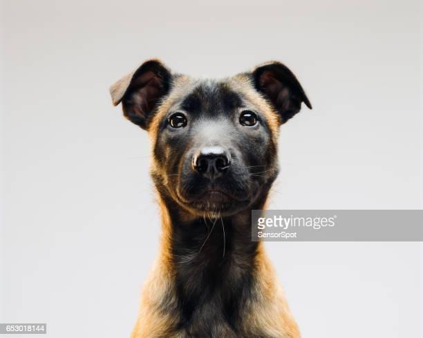 Porträt des Malinois belgischer Berger Hund