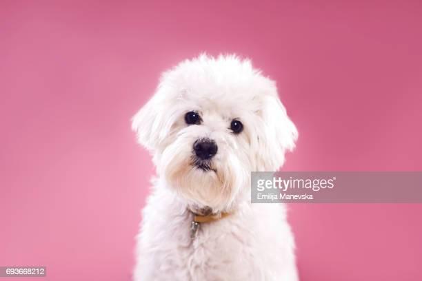 Portrait of Maltese Dog