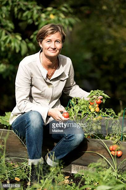 Portrait of mature woman harvesting tomatoes in garden