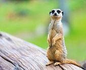 Portrait of Meerkat Suricata suricatta, African native animal, small carnivore belonging to the mongoose family