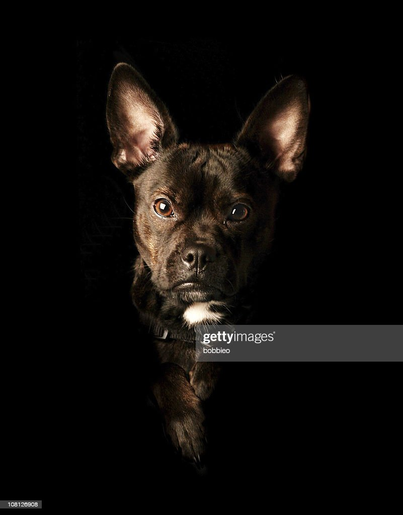 Portrait of Mixed Breed Dog on Black Background : Stock Photo