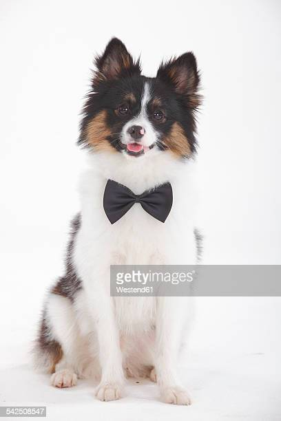 Portrait of Mixed Breed Dog wearing bow-tie sitting in front of white background