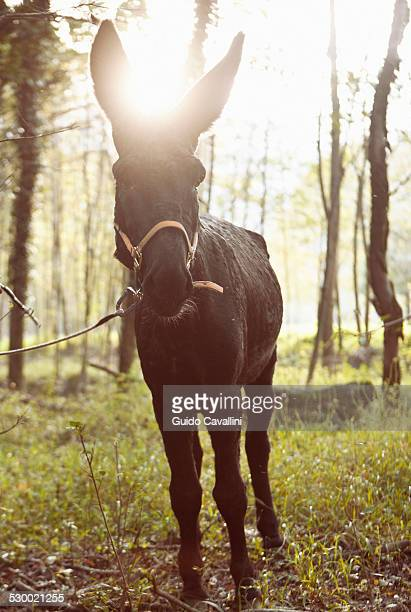 Portrait of mule in sunlit woods, Premosello, Verbania, Piemonte, Italy