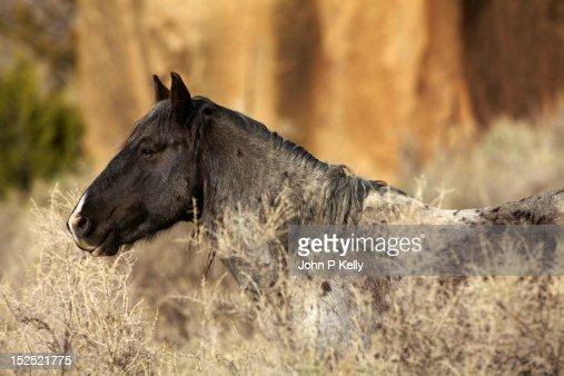 Portrait of mustang stallion : Stock Photo