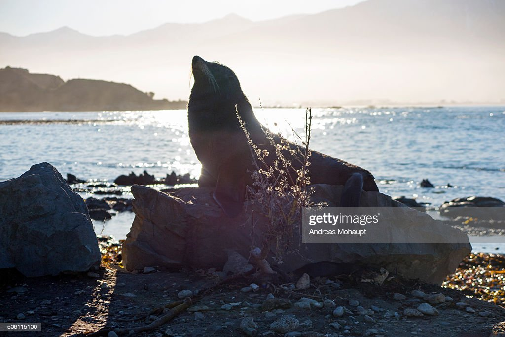 Portrait of New Zealand Fur Seal (Arctocephalus forsteri) on Rock Formation