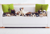 portrait of nine cutest caucasian shepherd puppies lying in row on sofa at home
