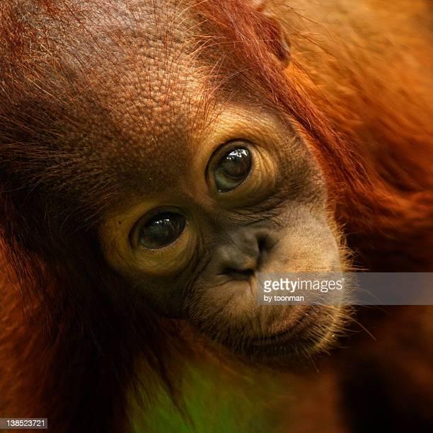 Portrait of Orangutans