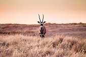 Portrait of oryx in Namibrand Nature Reserve , Namibia