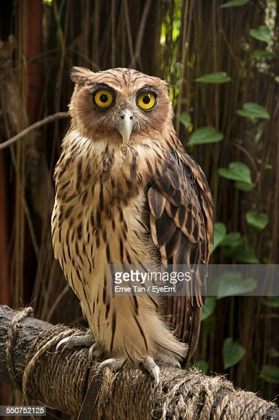 Portrait Of Owl Perching On Log