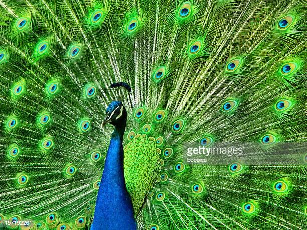 Portrait de paon avec des plumes sur