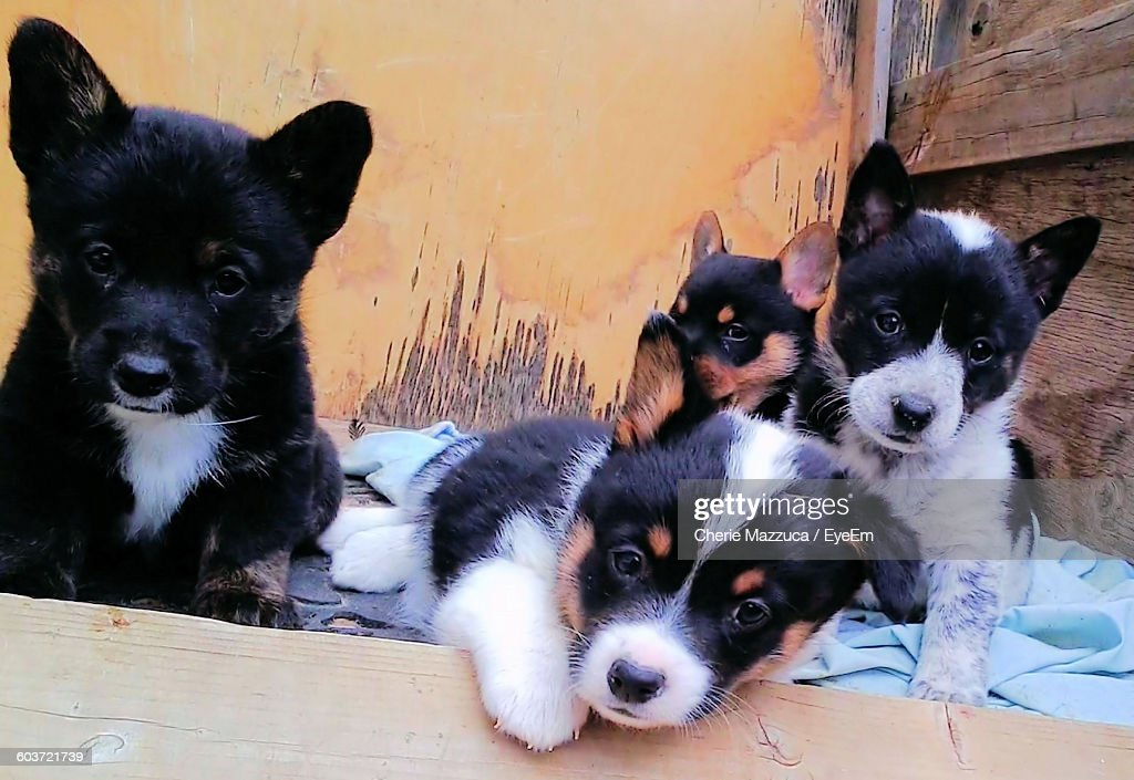 Portrait Of Pembroke Welsh Corgi Puppies Against Wall