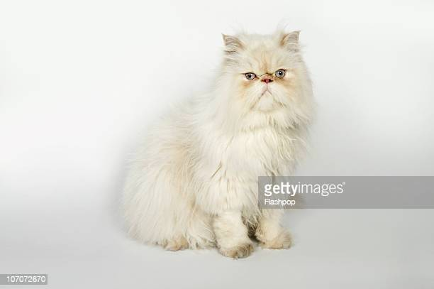 Portrait of Persian cat