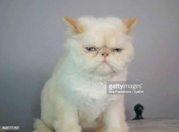 Portrait Of Persian Cat Sitting On Table Against Gray Wall