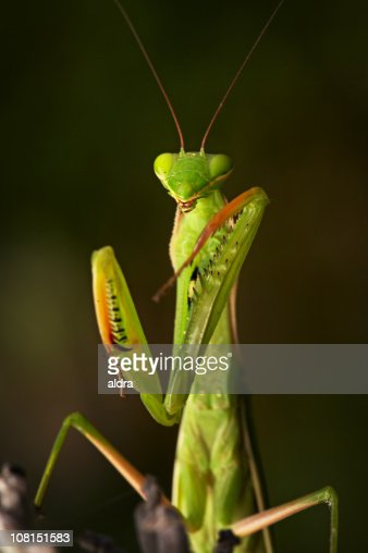 Portrait of Praying Mantis with Eyes Closed