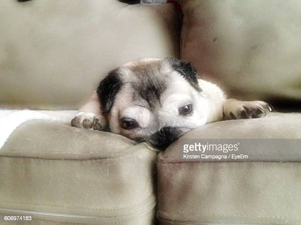 Portrait Of Pug Relaxing On Sofa