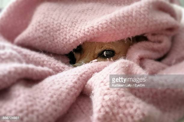 Portrait Of Puppy Covered In Pink Blanket