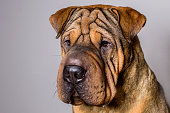 Close-up Portrait of Red Wrinkled Sharpei Dog