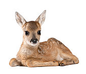 Portrait of Roe Deer Fawn  sitting against white background
