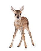 Portrait of Roe Deer Fawn standing against white background