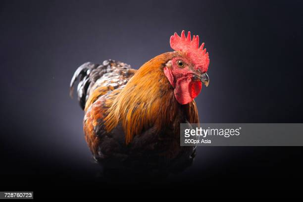 Portrait of rooster against black background