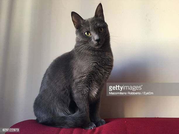 Portrait Of Russian Blue On Sofa Against Wall