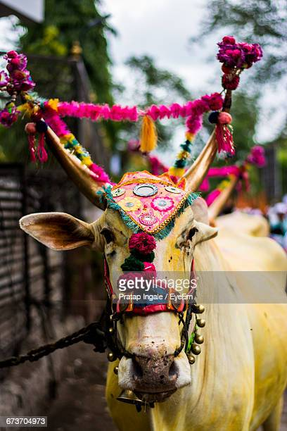 Portrait Of Sacred Cow