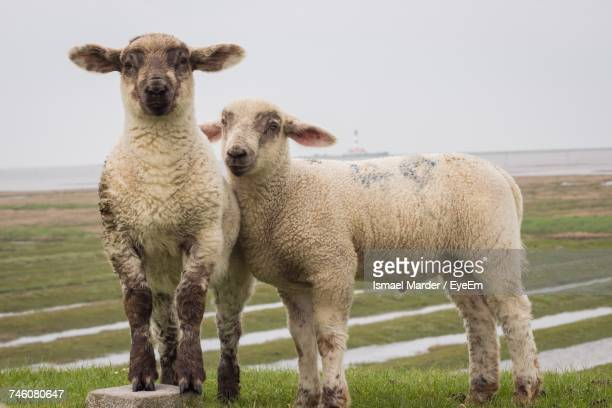Portrait Of Sheep Standing On Field Against Sky