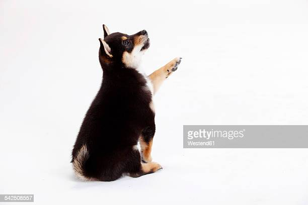 Portrait of Shiba Inu puppy in front of white background