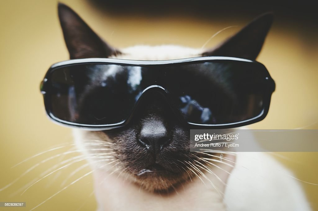 Portrait Of Siamese Cat With Sunglasses