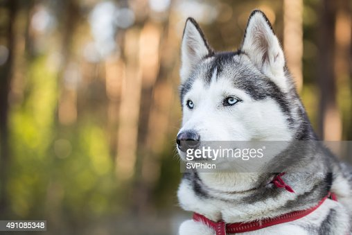 Portrait Of Siberian Husky Closeup Stock Photo Thinkstock
