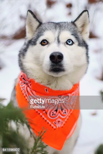 Portrait Of Siberian Husky With Different Eyes Wearing Orange