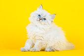 Portrait of Siberian kitten on yellow background, studio shoot