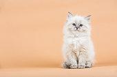 Portrait of Siberian kitten on a  beige background, studio shoot