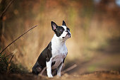 portrait of sitting beautiful boston terrier dog puppy in spring background
