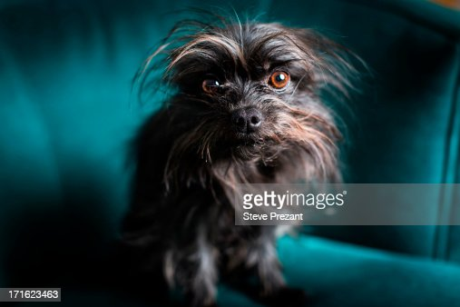Portrait of small dog sitting on turquoise chair : Stock Photo