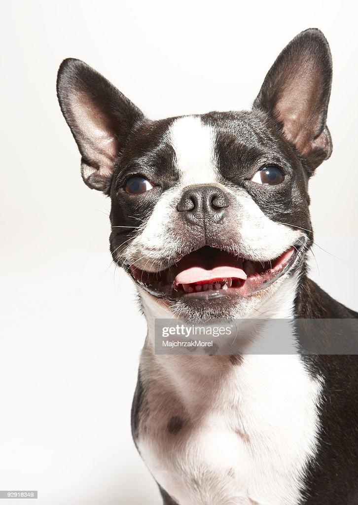 Portrait of smiling Boston Terrier puppy : Stock Photo