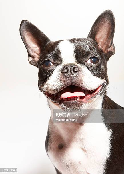 Portrait of smiling Boston Terrier puppy