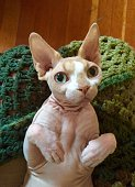 Portrait Of Sphynx Cat At Home