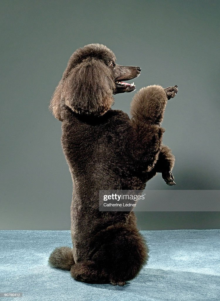 Portrait of Standard Poodle  : Stock Photo