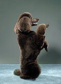Portrait of Standard Poodle