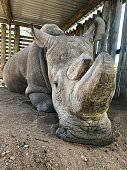 Sudan, the last living male Northern white rhinoceros, rests in his pen at Ol Pejeta Conservancy in Laikipia, Kenya
