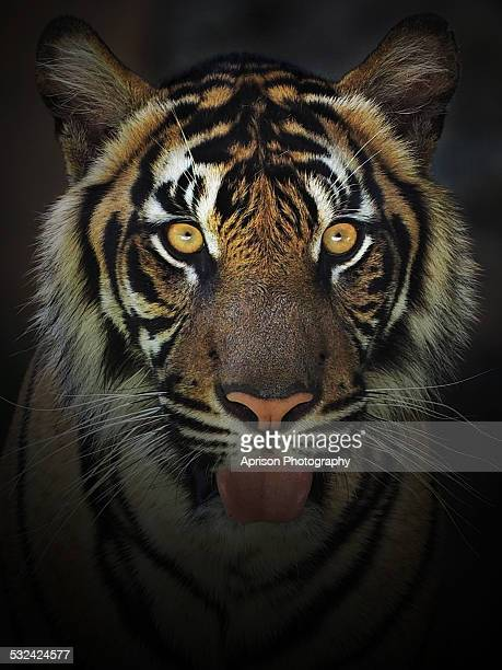 Portrait of Sumatran Tiger looking at camera