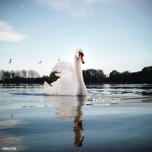 Portrait of swan swimming on lake