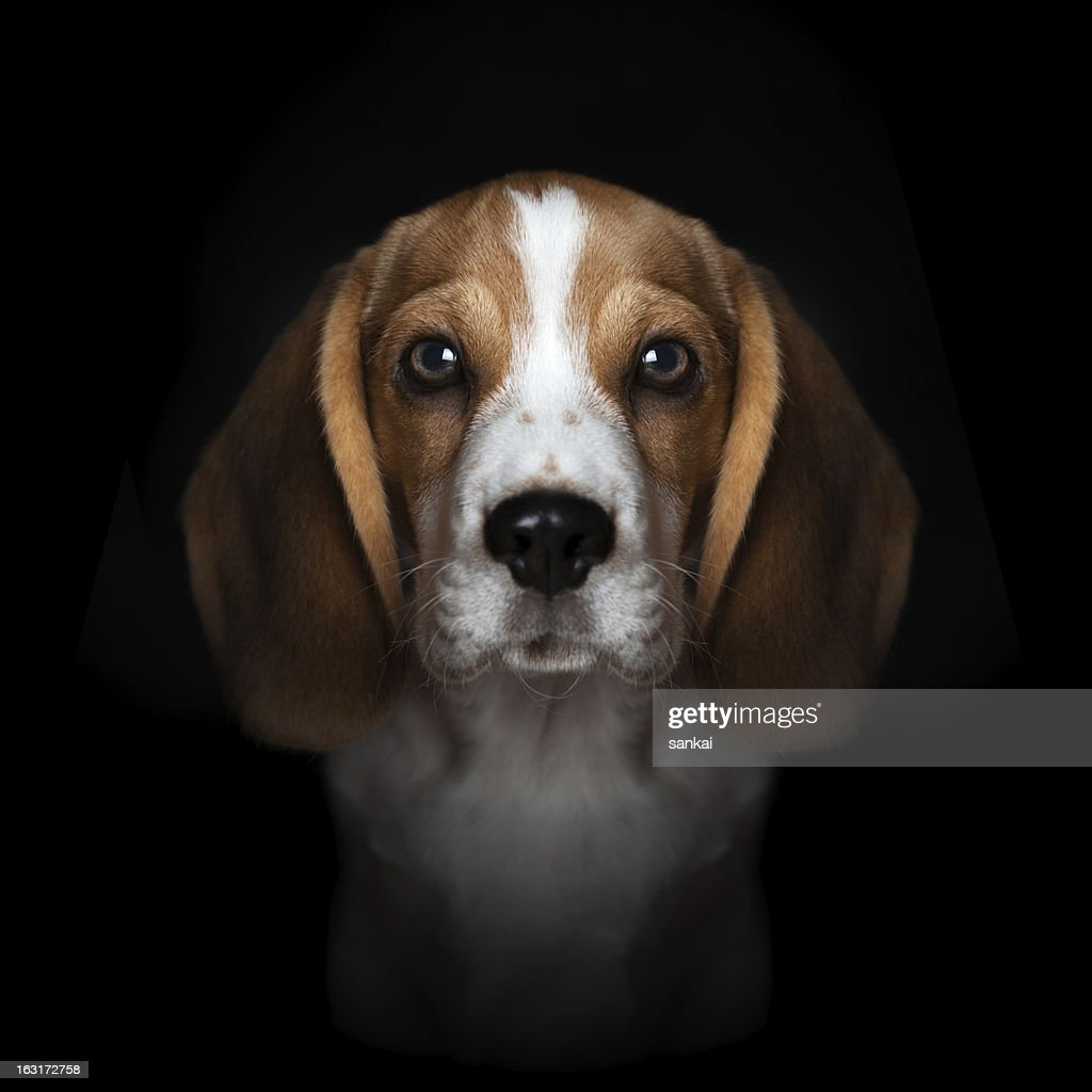 Portrait of sweet beagle puppy isolated on black background : Foto de stock