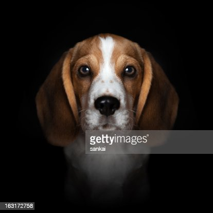 Portrait of sweet beagle puppy isolated on black background : Stock Photo