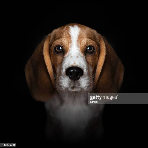 Portrait of sweet beagle puppy isolated on black background
