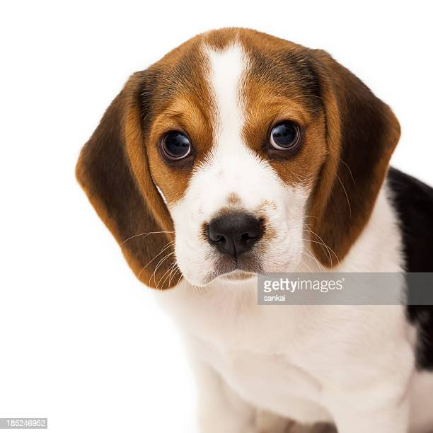 Portrait of sweet beagle puppy isolated on white background