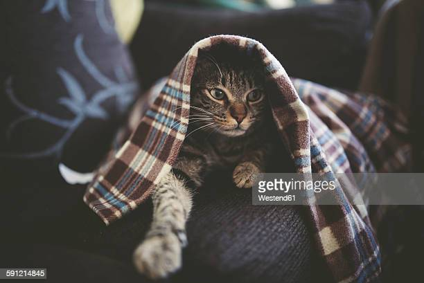 Portrait of tabby cat hiding under a blanket on the couch