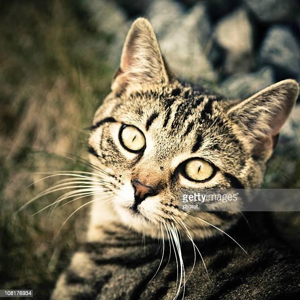 Porträt von Getigerte Katze Cat