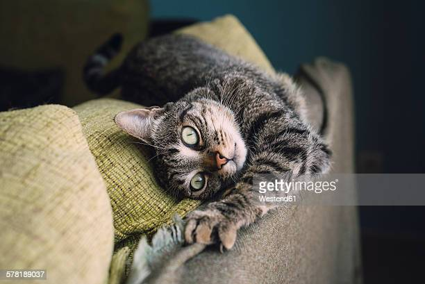 Portrait of tabby cat stretching on the backrest of a couch